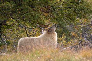 Icelandic sheep rooming free